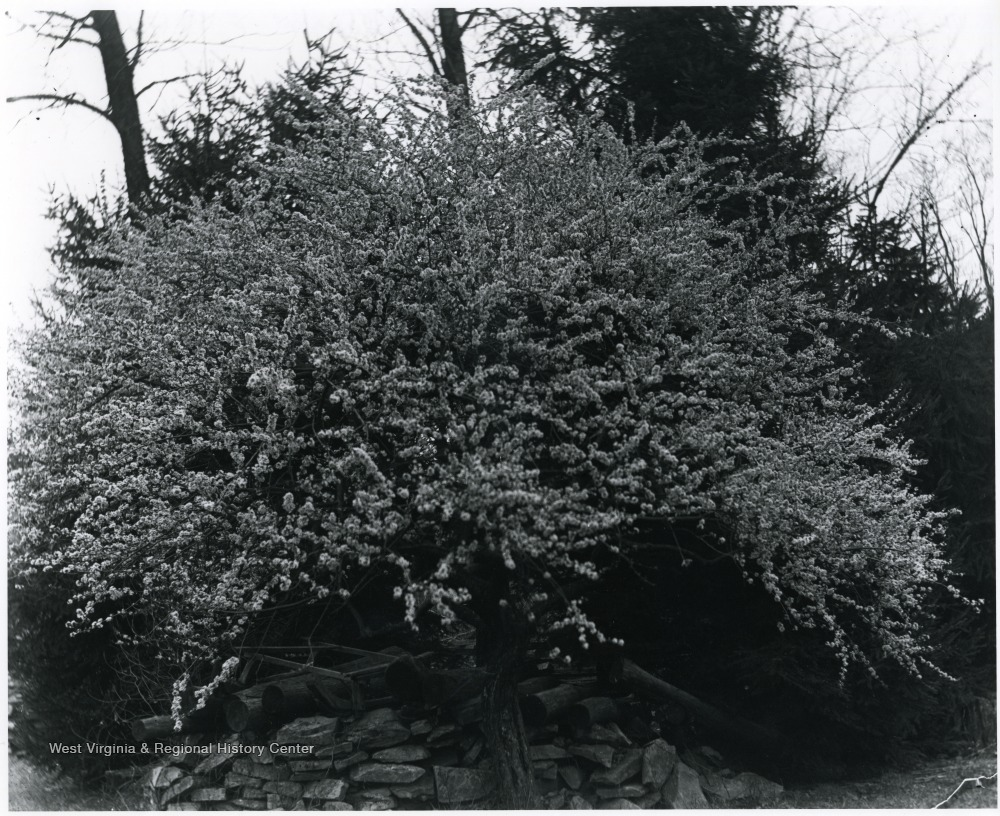 Blossoming tree over wood pile, Helvetia, W. Va.