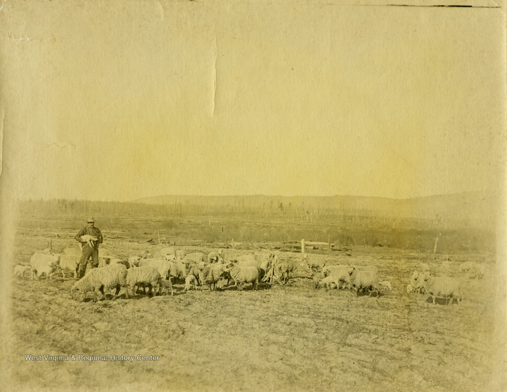 This image is part of the Thompson Family of Canaan Valley Collection. The Thompson family played a large role in the timber industry of Tucker County during the 1800s, and later prospered in the region as farmers, business owners, and prominent members of the Canaan Valley community.A farmer is seen here standing among his flock of sheep.