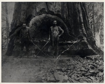 "Pardee and Curtain Lumber operation. This tree, possibly a redwood, was used to build the Titanic. More info from Comstock's ""Of Times Past"", 1949.  Cut from Cuppernick ? Bend near Curtin, Nicholas County."