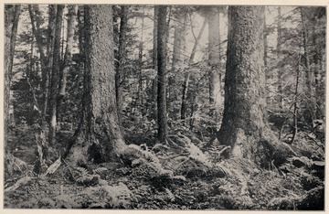Large trees and forest bottom.(Pocahontas County?)