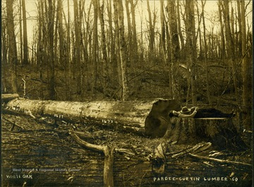 A Logger for Pardee and Curtin relaxes on stump of a felled white oak tree to compared the width of the tree to the height of the man.