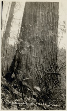 A giant Chestnut when they were alive - before the blight.  This tree was over six feet in diameter on the stump when cut.