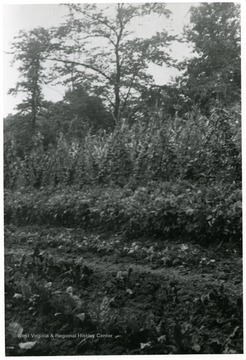 A vegetable garden at Scott's Run, W.Va.