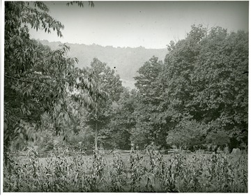 Corn field with trees in the background at Helvetia, W. Va.