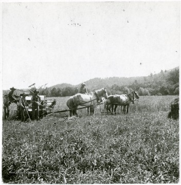 Men work with horses to harvest a field.