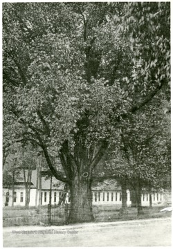 Elm tree planted by George Washington in Berkeley Springs, W. Va.