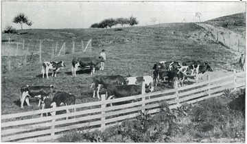 Man with cows on the farm at the Second Hospital for the Insane.