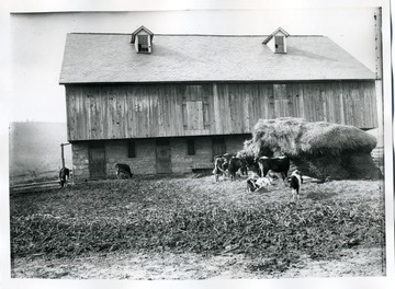 Cows are eating hay in front of George R. Sperow's barn in 'Fletcher' Martinsburg, West Virginia.