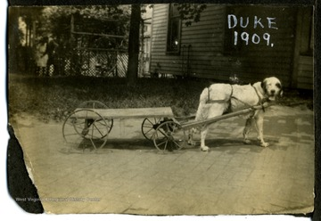 M. Hall's dog, Duke in straps to pull a toy cart.