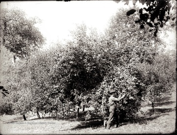 Photographer U. C. Shock picking apples in the orchard on the hillside above his house at Helvetia, W. Va. Some of the old trees are still there. Notice the face of son Herbert peering out of the foliage at his father's left knee.