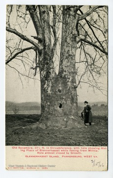 Old Sycamore, 37 1/2 ft. in circumference with hole showing hiding place of Blennerhasset while fleeing Militia. Hole almost closed by growth.
