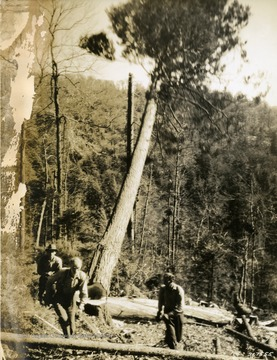 Hemlock tree being felled on lands owned by the Cherry River Boom and Lumber Company.