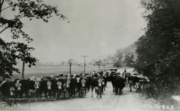 "Photo labeled on the back: ""Drove of cattle;  Sara I. Scott"""