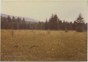 A field surrounded by pine trees.