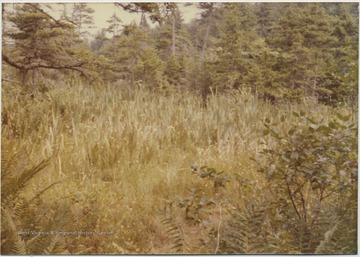 Tall grass dominates the field surrounded by pine trees.