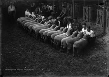 A group of unidentified boys examine a flock of sheep.