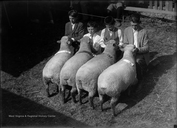 Four unidentified boys examine a group of sheep in an unidentified location.