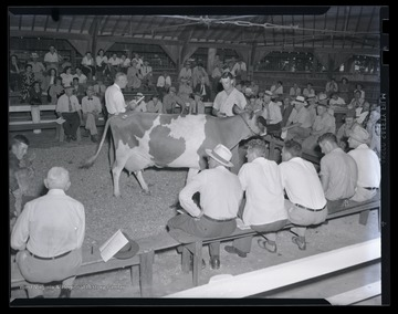 A group of men look over the dairy cow as it is being auctioned. Subjects unidentified.