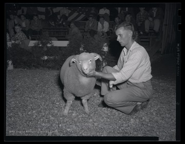 An unidentified man feels the sheep's wool at the auction site.