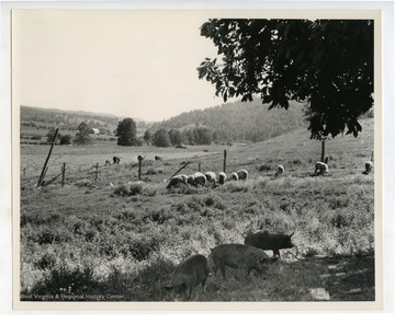 Hogs, sheep and cows graze in pasture.