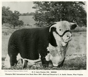 "Caption reads, ""Champion Bull, International Live Stock Show 1947 - Bred and Owned by C. A. Smith, Chester, West Virginia."""